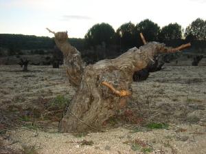 Cepa vieja en Cebreros (Ávila)