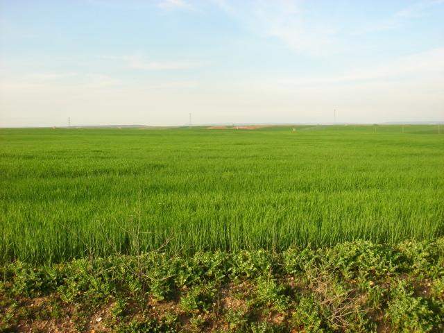 Cultivo de cereal a finales de abril en Pozaldez (Valladolid)