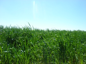 Campo de cereal en Montuelga (Segovia)