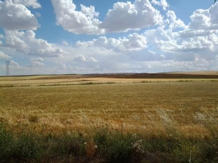 Campo de cereal en Honrubia (Cuenca)