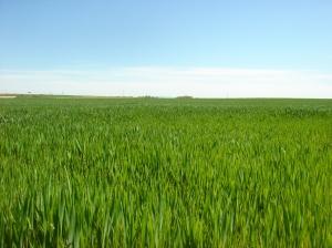 Campo de cereal en Montuenga (Segovia). Abril de 2013