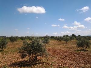 Olivar joven en Castilla-La Mancha