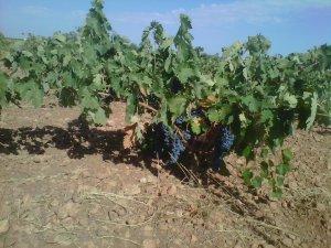 Cepas listas para ka vendimia en La Mancha