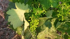 Formación de la uva; variedad tempranillo o cencibel