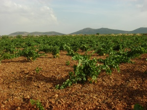 Viñedo en vaso en la comarca de La Mancha