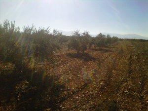 Olivar en La Mancha