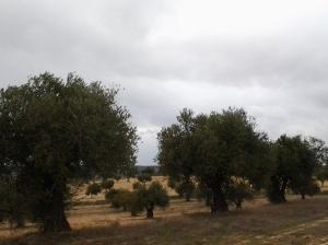 Olivar. Invierno 2014