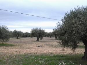 Olivos en Chinchón (Madrid)