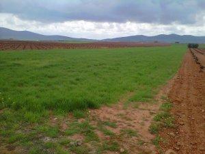 Campo de cereal en La Solana (Ciudad Real)