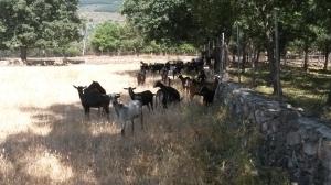 Rebaño de cabras del Guadarrama en la Sierra de Madrid