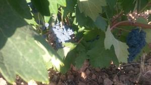 La uva tempranillo, en secano, preparada para ser vendimiada