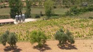 Viñedo y olivar en Monroyo (Teruel)