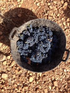 Capacho de uvas de la variedad tempranillo