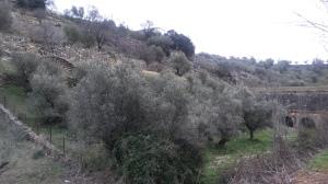 Bancales de olivar en El Molar (Madrid)