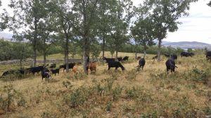 Cabras en la Sierra de Guadarrama (Madrid)